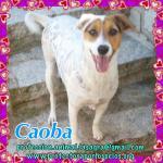 en adopción Caoba