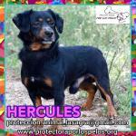 en adopción Hercules